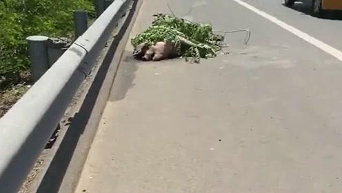 高速路上偶遇这样的一幕,猪躺地上中暑了,这年头啥都能上高速!