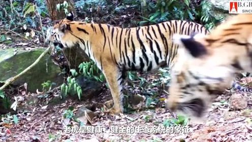 泰国保护老虎达到空前力度 森林与世外隔绝其中到处装有摄像头
