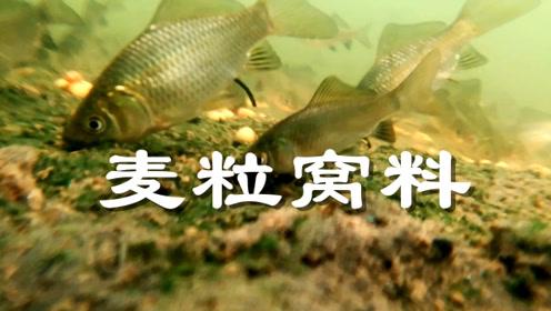 麦粒打窝野钓鲫鱼效果如何?鲫鱼如何吃饵,带你去水下一探究竟!