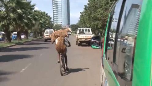 羊在大街上骑自行车?看清楚后让人哭笑不得,镜头拍下搞笑瞬间