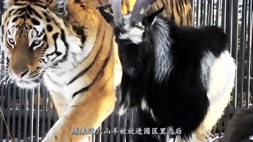 训练老虎兽性,饲养员放了山羊,结果几个月后山羊胖了几十斤?