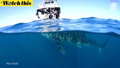 实海船只惊险一刻 海面风平浪静 海下被鲸鲨跟踪了15分钟