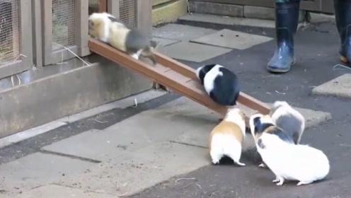 小豚鼠排队回家,一只一只往前走,突然有几只插队了!