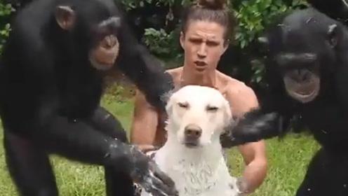倍儿搞笑:猩猩给狗狗洗澡?靠谱猩推荐,专业搓澡灵魂推拿
