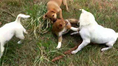萌宠 乡下的幸福的土狗一家,午睡完的活动就是在田野里嗨皮!