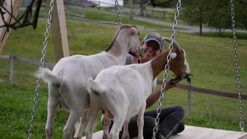 操碎心的农场主,在牧场装秋千,只为了让羊玩耍