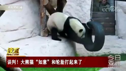 """误判!大熊猫""""如意""""和轮胎打起来了"""