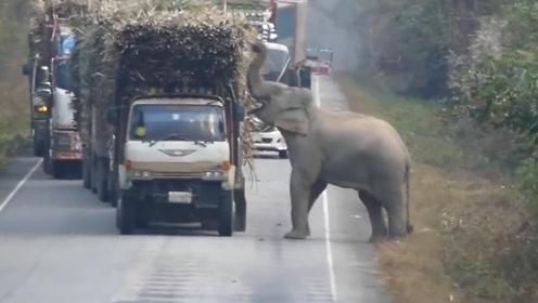 大象拦路堵截大货车,只为吃一根甘蔗,网友:司机举动太暖心了