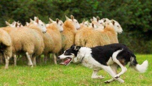 狼在袭击羊群的时候,看到牧羊犬为什么会逃跑?难道是打不过吗