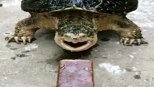 今天给大鳄龟换个口味,巧克力瞬间稀碎,这咬合力和反应力太牛了