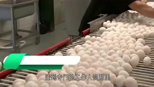 超市的鸡蛋不是母鸡下的吗?看完工厂生产鸡蛋的过程,终于明白