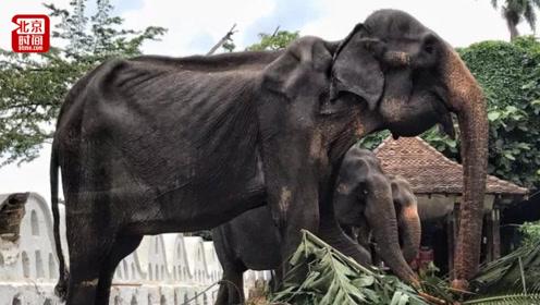 斯里兰卡70岁母象瘦成皮包骨仍巡演:闪闪发光礼服下的残酷现实