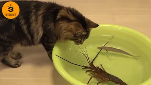 喵星人VS龙虾王,狭路相逢谁能胜,猫:我可能忘充钱了