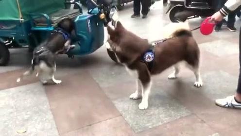 现实版狗仗人势,二哈见阿拉斯加秒怂,主人来了,你看把它嘚瑟的