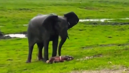大象刚生下幼崽,草原上就下起来暴雨,同伴们的做法太给力了