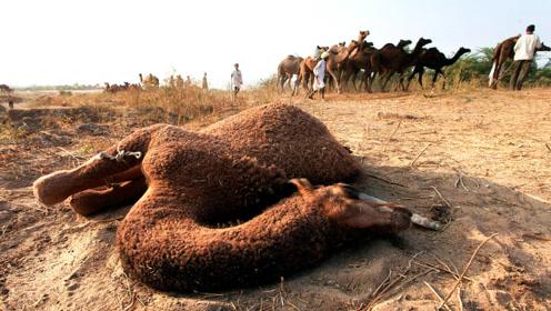 为什么渴死的骆驼不能碰?连朝夕相处的主人都要绕着走!