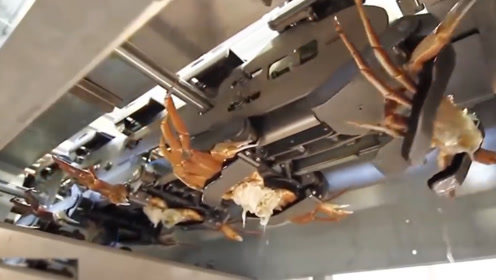 螃蟹自动处理厂,出来的只有肉,懒人们的福音