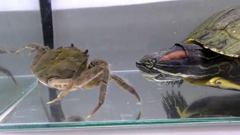 乌龟可以吃掉有坚硬外壳的螃蟹吗?简直太轻松了