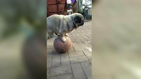 篮球上走路,有绝活的狗