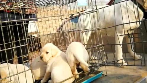 狗市上一只成年拉布拉多,500块钱卖了,跟着买家头也不回的走