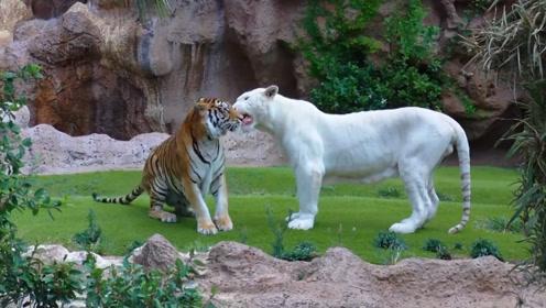 饲养员怕老虎孤单,往笼子里放了头白色母老虎,第二天一看笑翻了