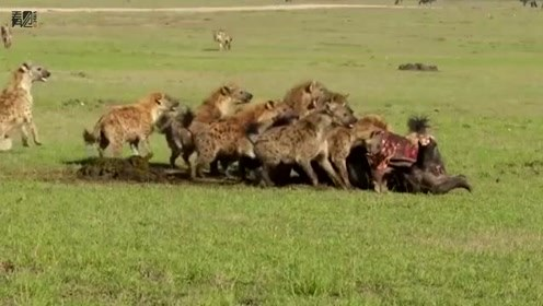 鬣狗群狮口抢食 雄狮寡不敌众只得放弃美餐
