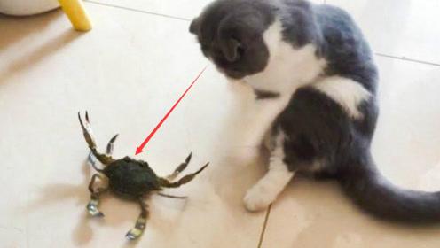 猫咪玩螃蟹被夹到,下一秒瞬间翻脸,对着螃蟹就是一顿拍