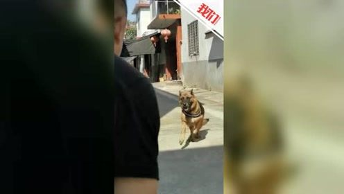 泪目!听到训导员在墙外呼唤 被领养退役警犬飞奔出门迎接