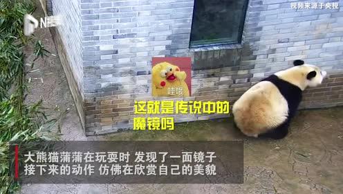 沈阳大熊猫蒲蒲玩耍时遇到一面镜子:霸道总裁式的灵魂问答