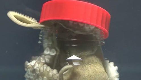 章鱼的智商有多高?男子将章鱼关进玻璃瓶,镜头记录全过程