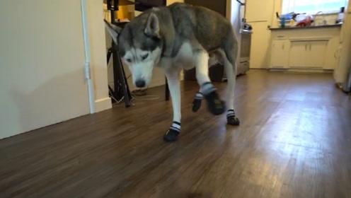 主人给二哈穿上狗鞋,看到它的走姿后,铲屎官都笑喷了!
