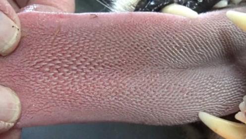 猎豹的舌头有多锋利?老外拿自己胳膊做实验,像刮伤一样