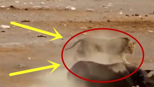 一大群狮子攻击落单受伤犀牛,它仅仅只用了一招,直接秒杀狮群!