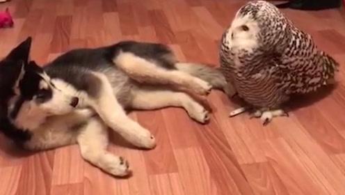二哈和猫头鹰千万不能一起养,不然猫头鹰会走上一条不归路!