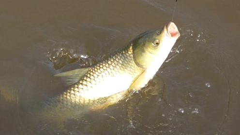 万万没想到,一块钱的这种湖南特色饵料,能钓上这大草鱼,惊喜!