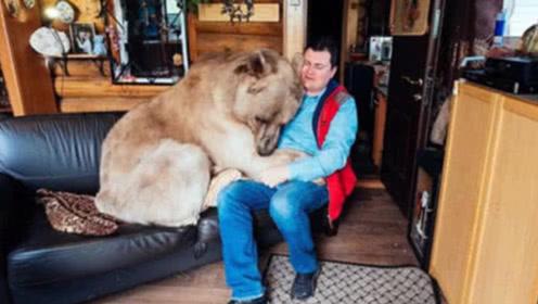 """俄罗斯夫妇捡了一只小熊,养了20年后,最后""""熊样""""都没了!"""