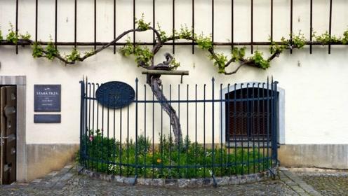 """世界上最古老的葡萄树:树龄达176岁,被称为""""葡萄树之母""""!"""