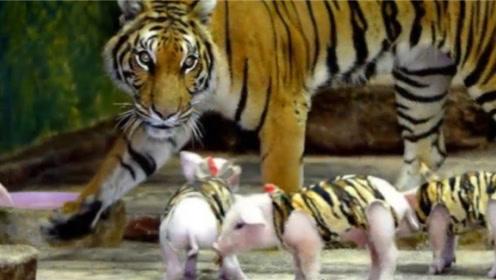 母爱真伟大!虎妈妈难产失去宝宝,拿猪冒充后结果太惊喜