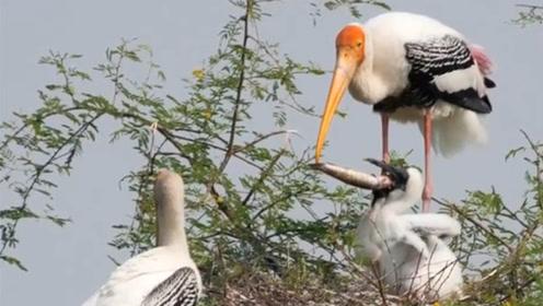 鸟妈妈带一条小鱼回家,鸟宝宝差点打起来,鸟妈不知所措!