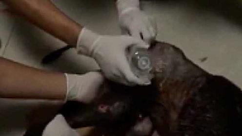 心疼!流浪狗被打断双腿,臀部烂出窟窿:爱心人士救助缝33针