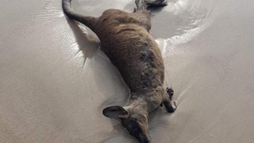 心碎!澳40只袋鼠横尸海滩 尸体触目惊心