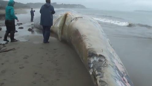 一头蓝鲸搁浅在海岸上,身长30米,尸体上有被咬过的痕迹