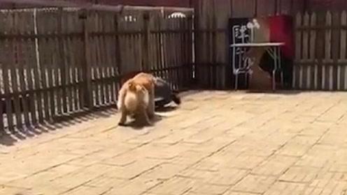金毛看见乌龟在散步,下一秒竟模仿起来,主人都要笑疯了!