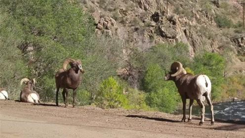 两只小羊相互瞅了眼,下一秒竟打起来了,羊:遇到对手了
