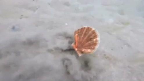 疯狂的扇贝!澳海域一只扇贝以惊人的速度在海底移动
