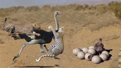猎豹捕食鸵鸟,结果鸵鸟竟往同伴那跑,网友:实力坑队友