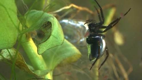 奇特蜘蛛身带剧毒生活在水下