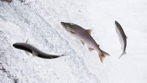 淡水鱼在海中不能生存,那么黄河入海后,河里的鱼都到哪去了?