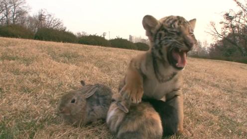 为激发老虎兽性,管理员往虎笼扔了只兔子,结果却出乎他的意料