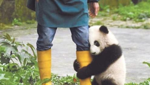 奶爸拿着美食诱惑熊猫,团子抱紧大腿撒娇,国宝:再吃一口